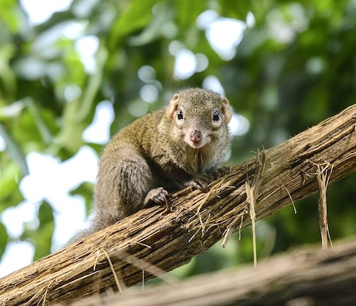 Tree-shrew
