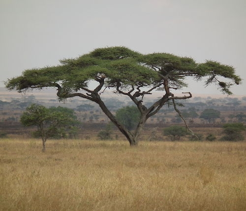 Umbrella thorn acacia in Tanzania