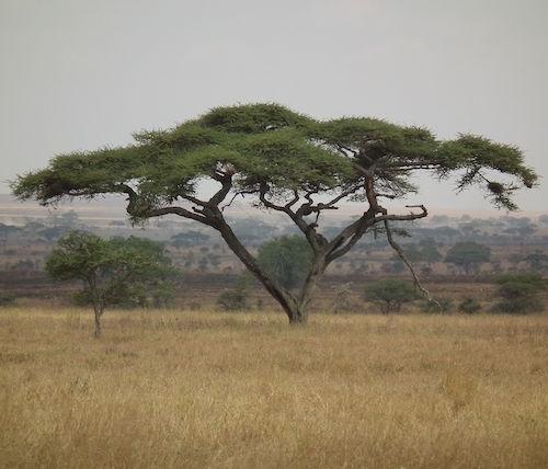 Bäumen der Savanne