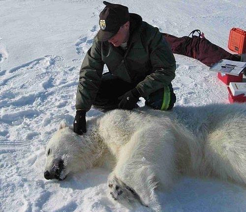 Kutup ayısı ile USFWS biyoloğu