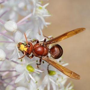 Vespa hornets