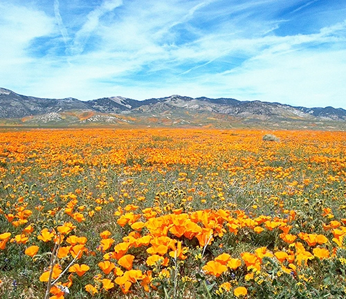 A field of wild California poppies.