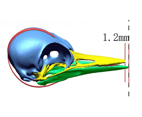 Model illustration of a woodpecker skull