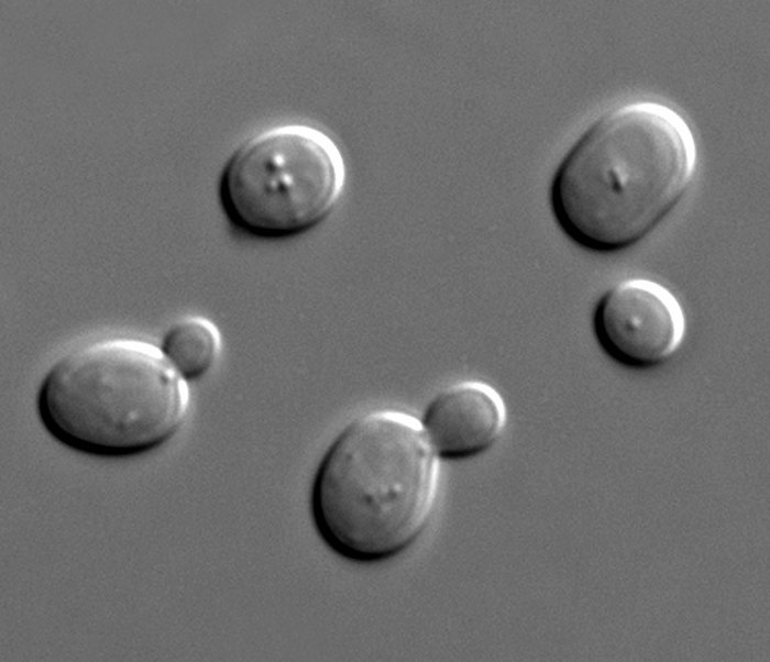 Yeast cells, some of which are budding
